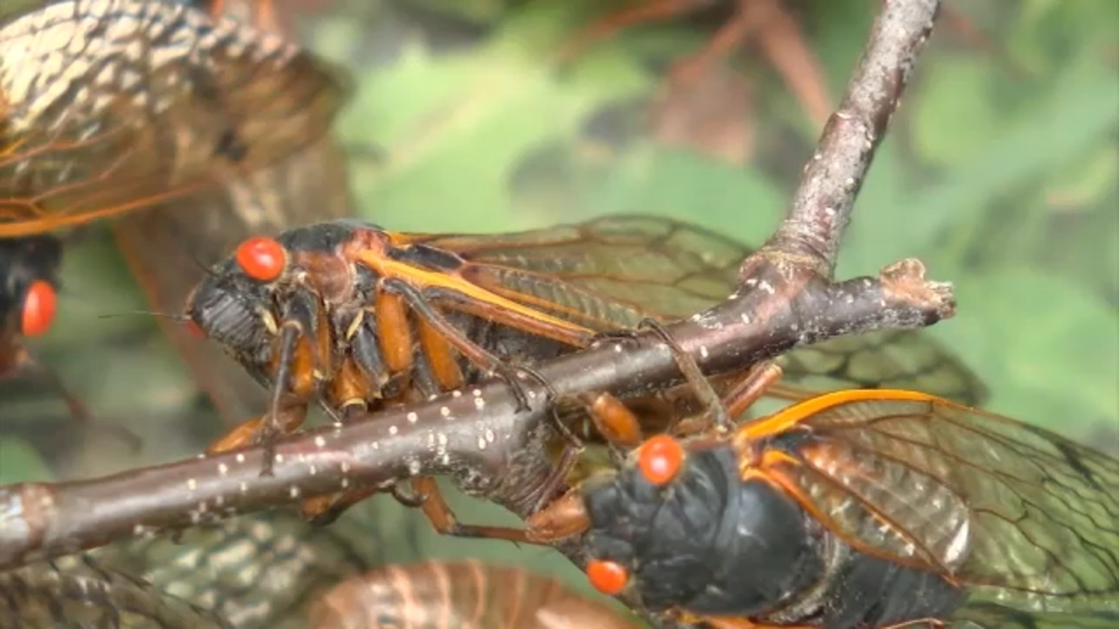 Cicadas emerge from 17-year slumber in parts of New Jersey