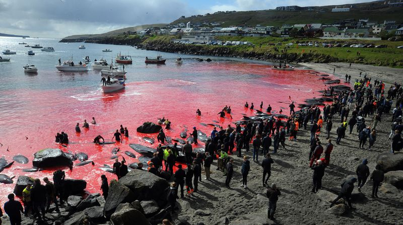More than 1,400 dolphins killed in Faroe Islands after 'big mistake'