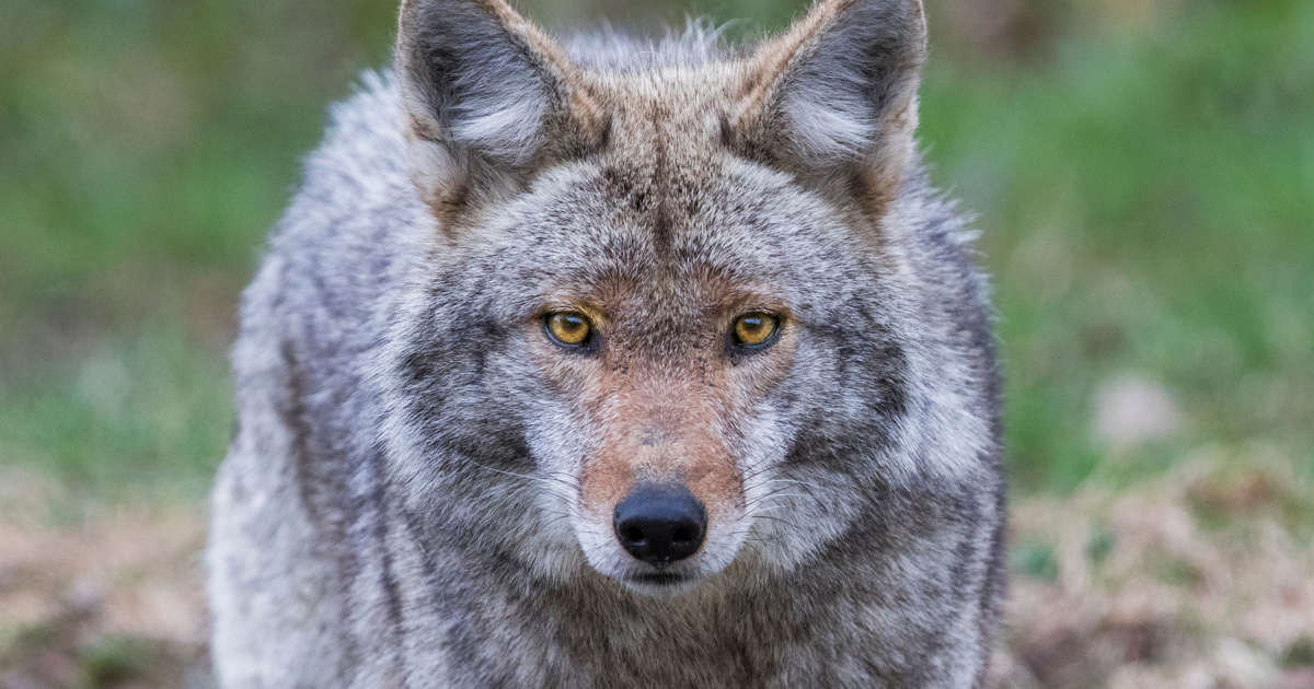 Coyote bites, drags young girl before attacking another toddler minutes later